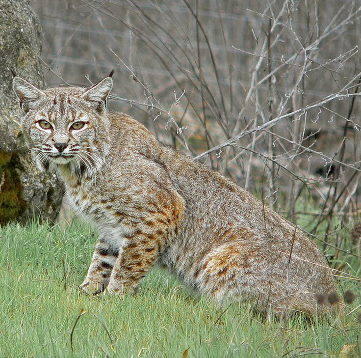 The bobcat [Lynx rufus] is an adaptable predator that inhabits wooded areas, as well as semidesert, urban edge, forest edges, and swampland environments.  The bobcat is vital for controlling pest populations. With a gray to brown coat, whiskered face, and black-tufted ears, the bobcat resembles the other species of the mid-sized Lynx genus. It is smaller on average than the Canada lynx, with which it shares parts of its range, but is about twice as large as the domestic cat.