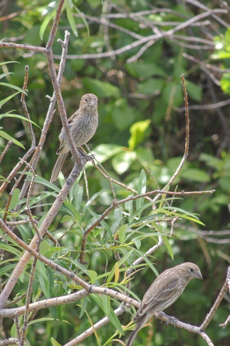 House Finches ©Steve Frye. Wild Bird Center of Boulder, CO Saturday Morning Bird Walk in Boulder County – June 5, 2014.