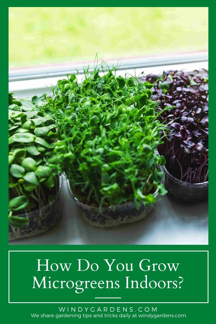 How Do You Grow Microgreens Indoors In 2020 Growing Microgreens