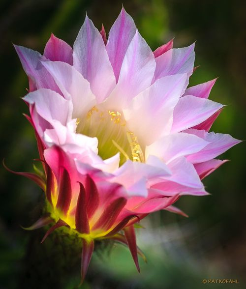 Cactus Flower: A gorgeous bloom from a prickly pear cactus ...