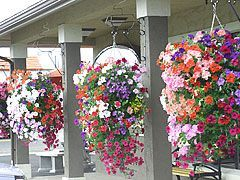 OHHHHH! Thats how they do it! GREAT directions for making your own hanging planter and the type of planters they use