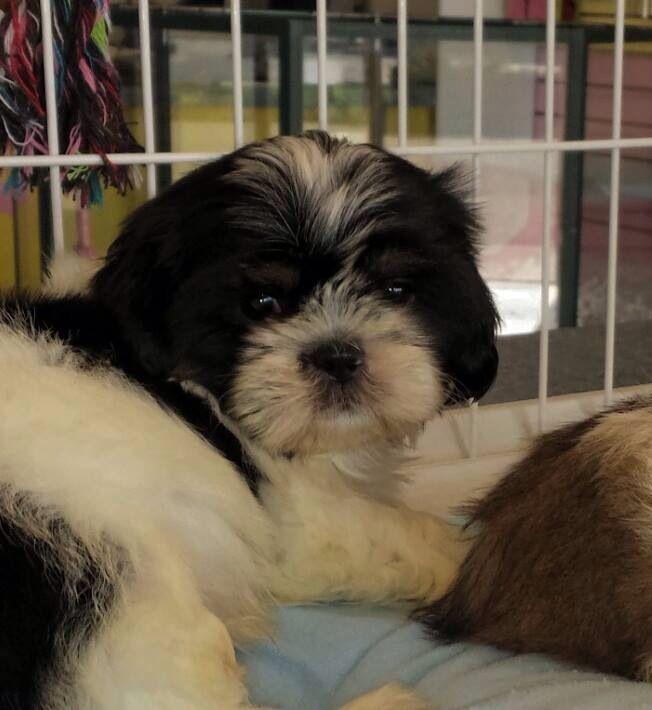 Black & White Shih Tzu Puppy | Shih Tzus | Pinterest ...
