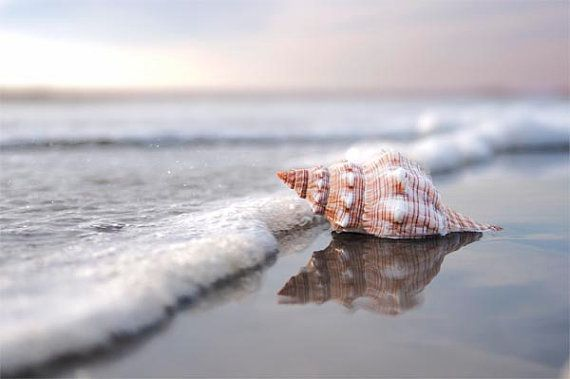 Sea Shell Art Beach Photography Home Decor Nautical by BreeMadden, $55.00