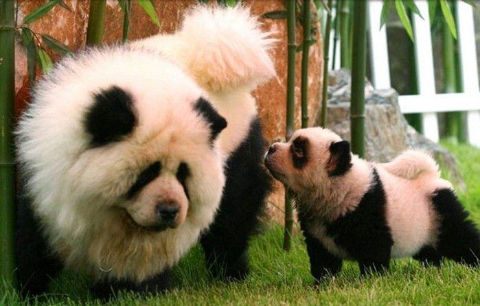 chow chow dog panda wwwimgkidcom the image kid has it