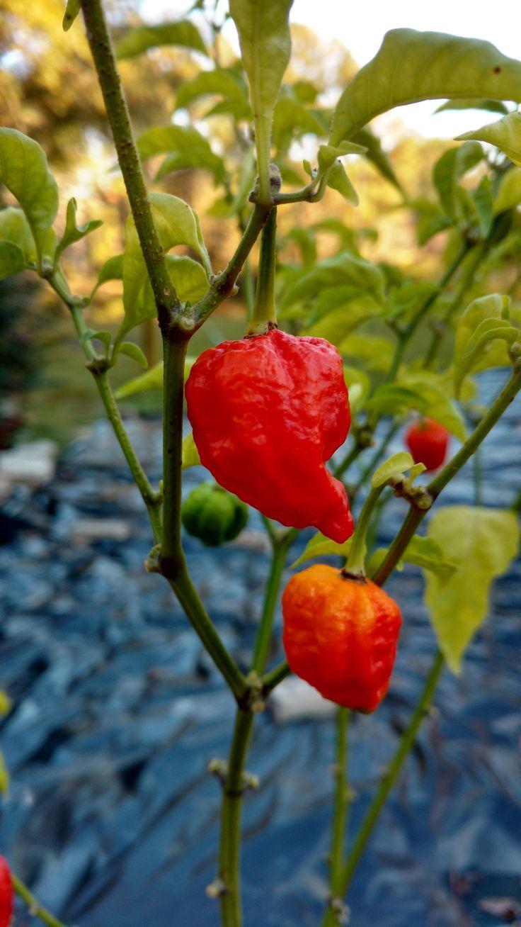 Nine months of hard work are finally ripening. Carolina Reaper Peppers from Pepper Joe seedlings. https://i.redd.it/wledst7bp8yz.jpg