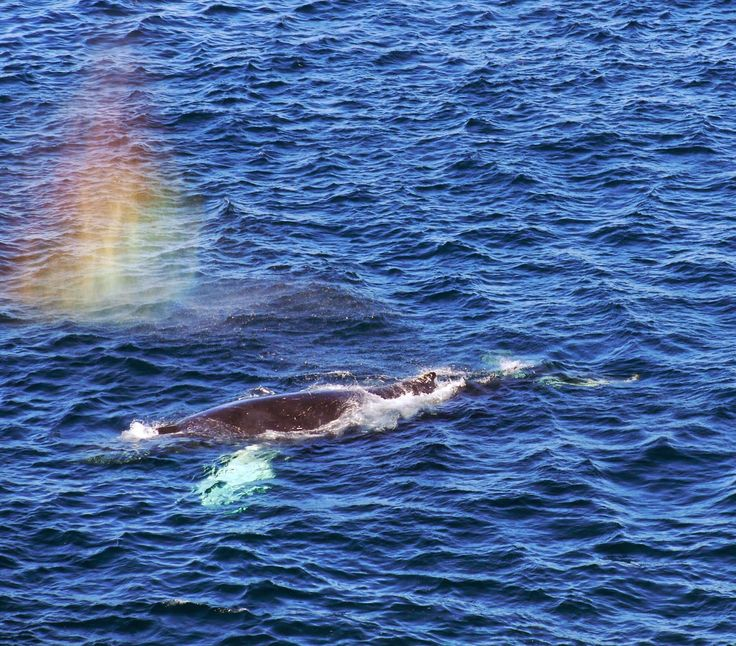Sense and Simplicity: Humpback whale off Quirpon Island in western Newfoundland.  Love the rainbow mist.
