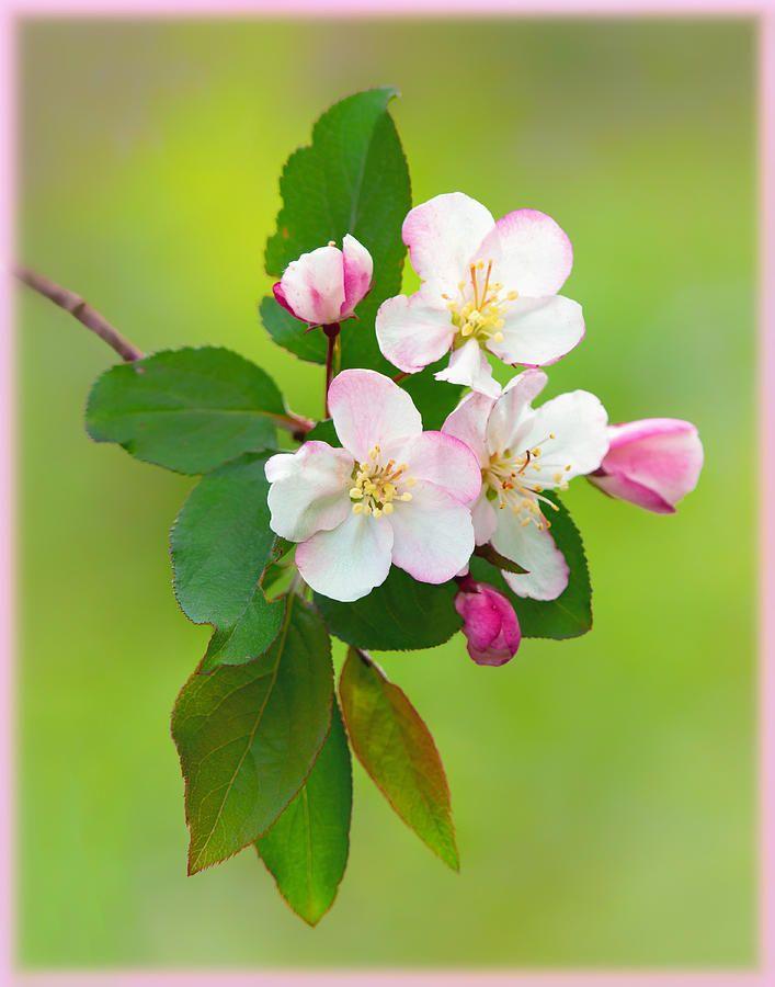 Wild Cherry Photograph Wild Cherry Blossoms By Carolyn Derstine Cherry Flower Flowers Photography Cherry Blossom Flowers