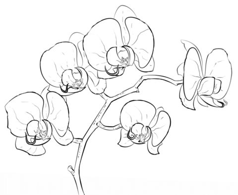 Orchid coloring page from Orchid category. Select from 24652 printable crafts of cartoons, nature, animals, Bible and many more.