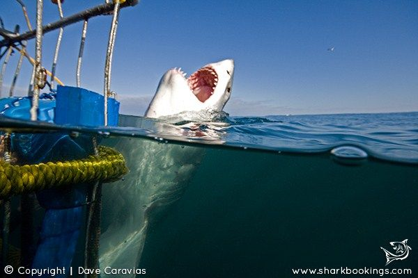 Great White Shark dive & stay holiday accommodation packages in Cape Town.