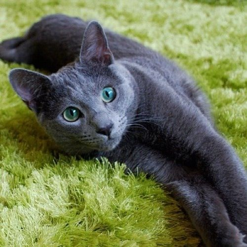 I was told once by a Vet that gray cats are very spiritual, I had a gray cat at the time and I said I was thinking the same thing, just never said it to anyone before! I believe it, just look at their faces and the way they act.