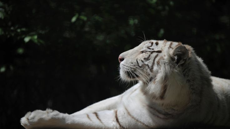 Tigryulia