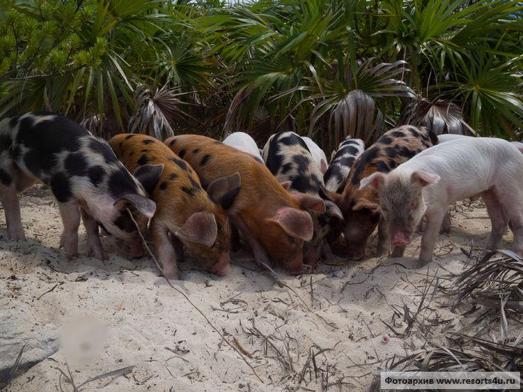 Пляж свиней: плавающие свиньи на Багамах (Остров свиней или Биг Мэйджор Кей, архипелаг Эксума, Багамские острова) ~ Pig Beach: Bahamas swimming pigs (Pig Island, Big Major Cay, Exuma, Bahamas)