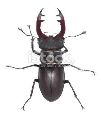 Male stag beetle, Lucanus cervus isolated on white background Royalty Free Stock Photo