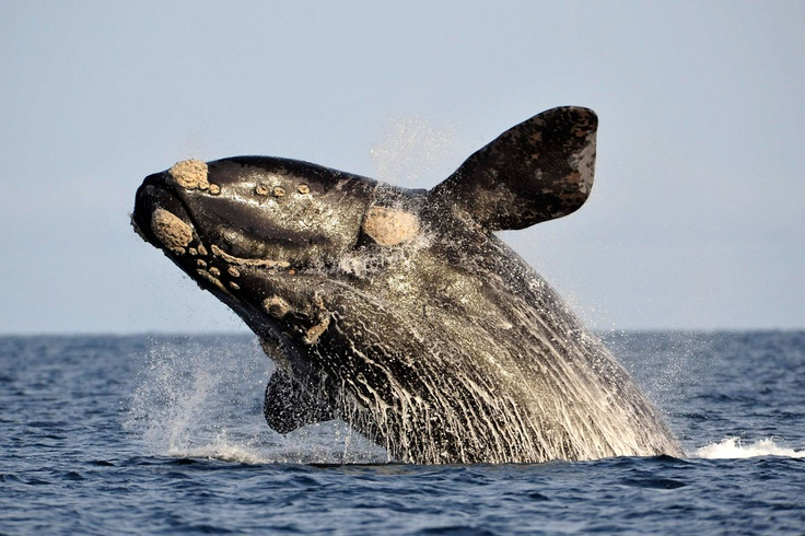 Southern right whale in the Atlantic Sea near Argentina's Patagonian village of Puerto Piramides