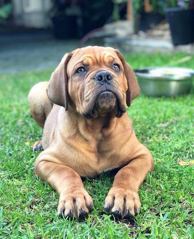 Arnie Dogue De Bordeaux 11 W O Sydney Nsw Loves Munching