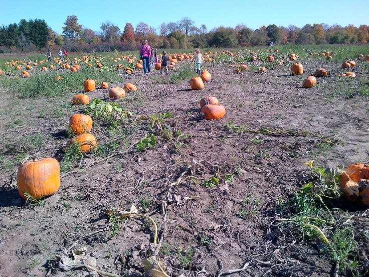 We hope everyone had a wonderful long Thanksgiving weekend!  Did you get a chance to enjoy the sunshine?  Here is a pumpkin patch at Pingles Farm Market (www.pinglesfarmmarket.com) in Courtice, just east of Toronto.
