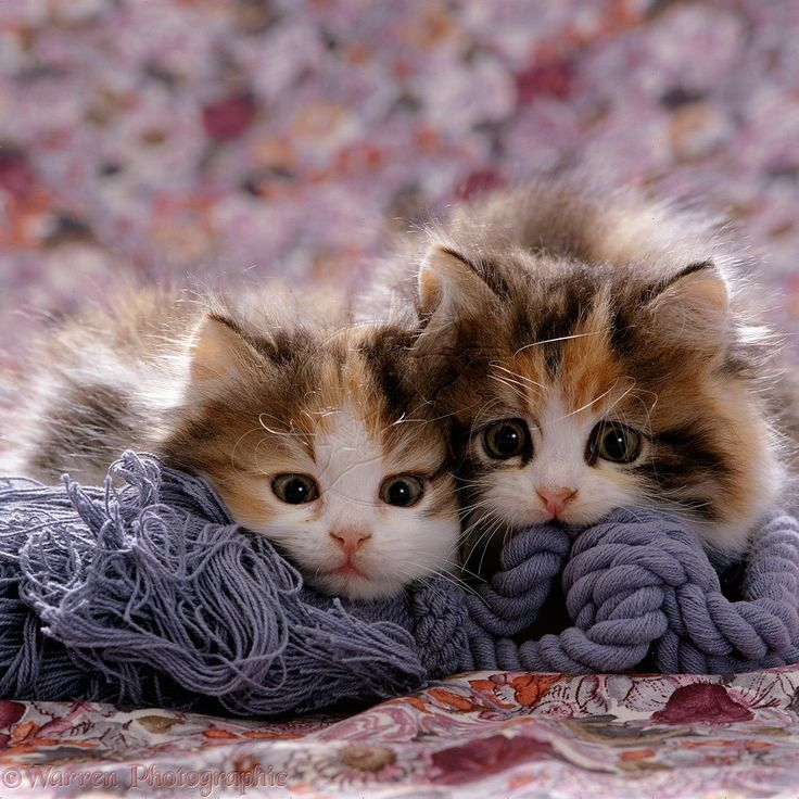 Persian Cross Calico Kittens Photo WP16485 | playconquest ...