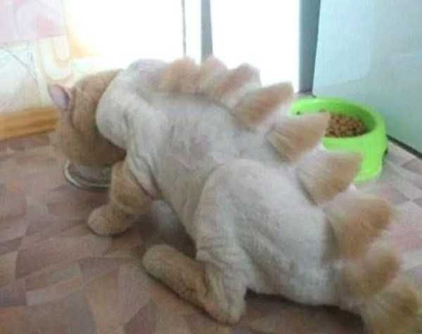 Human Shaver On Cat