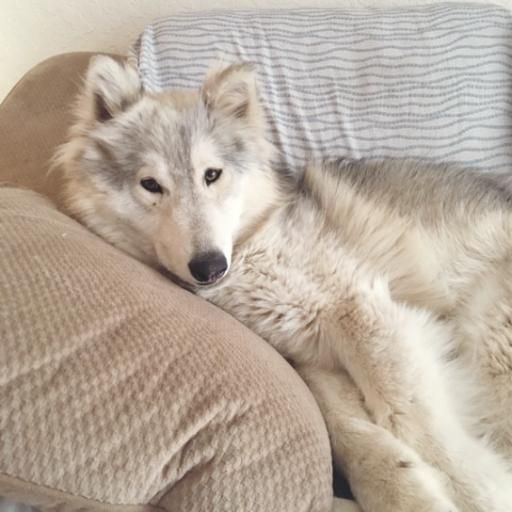 Wolf Hybrids:Information about wolf dogs.