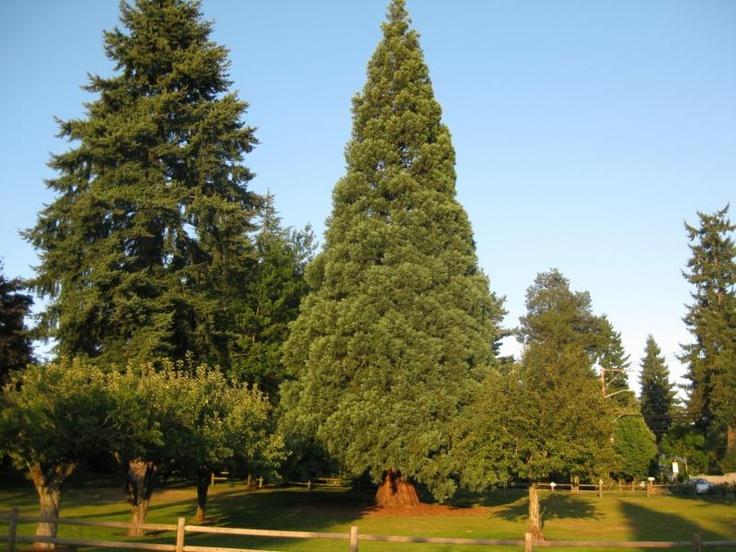 Mountain clouds enshroud jagged rock spires | JOHN CHAO ... |Washington Evergreen Trees