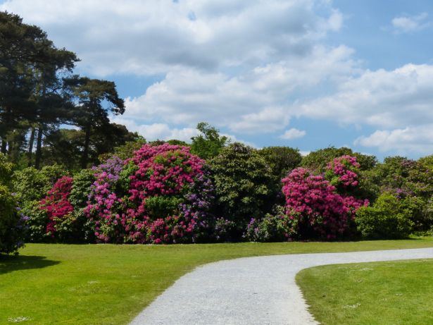 Rhodendrums flourish in Killarney