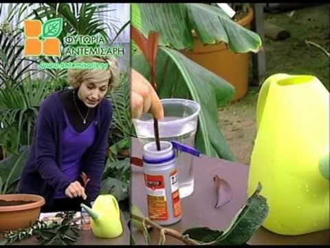 Πολλαπλασιασμός φυτών με μοσχεύματα - YouTube