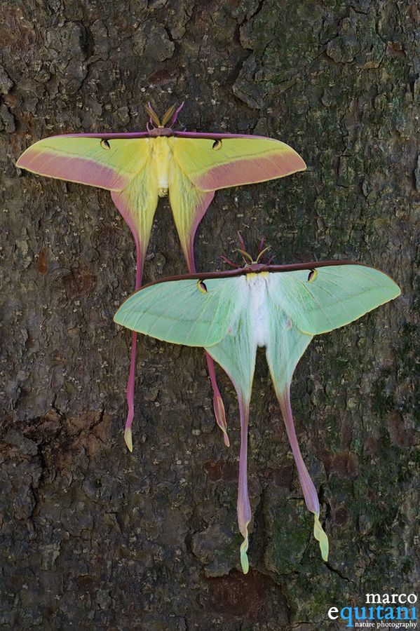 Male and female chinese luna moth