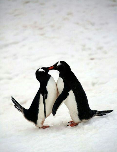 Aninimal Book: 146 best images about Penguins on Pinterest | Baby ...