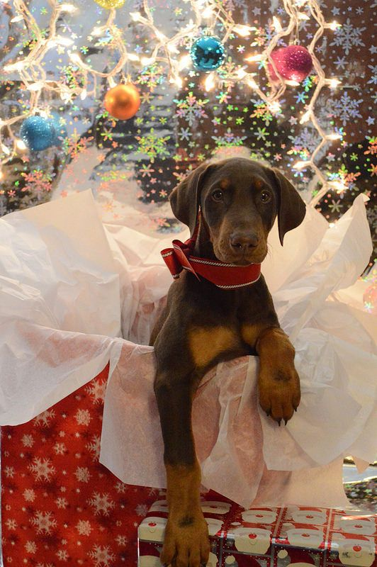 Red Doberman puppy unwrapped for Christmas