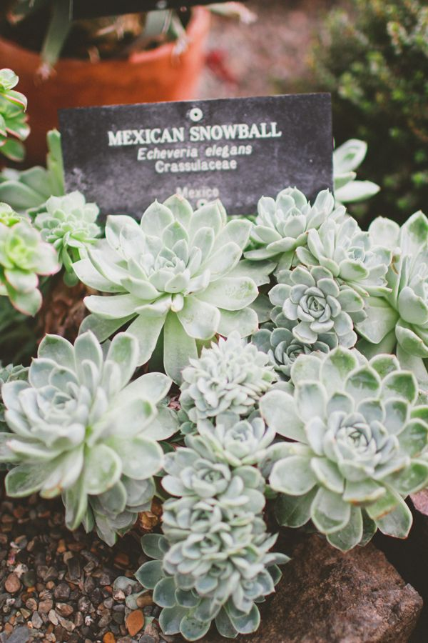 Mexican snowball | succulents | Pinterest