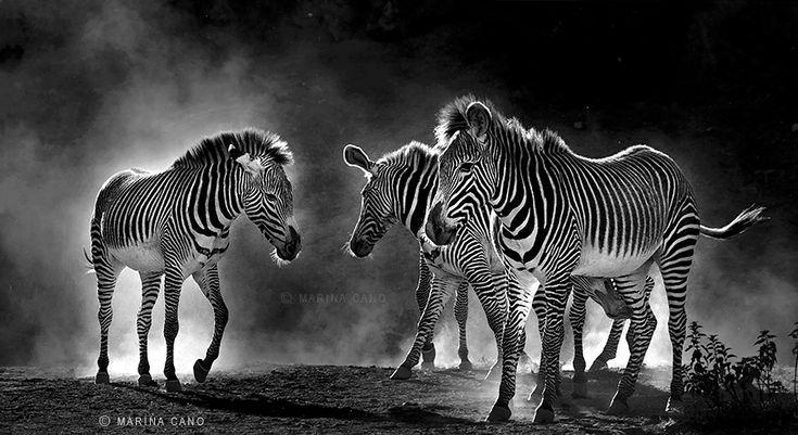 44 beste afbeeldingen over BW mammals op Pinterest