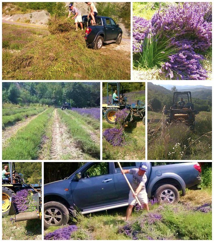 Lavender harvest at agriturismo verdita