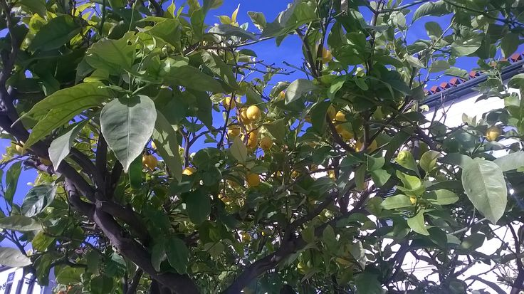 Autumn colors! Lemons are almost ready!