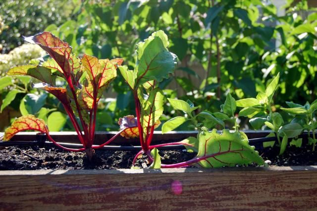 With a little prep, you can keep your vegetable garden going right through the fall. Here's how to get your garden ready for a second season.