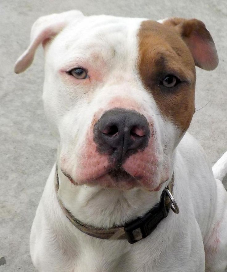 Meet 28 Markus, an adoptable American Bulldog looking for a forever home. If you're looking for a new pet to adopt or want information on how to get involved with adoptable pets, Petfinder.com is a great resource.
