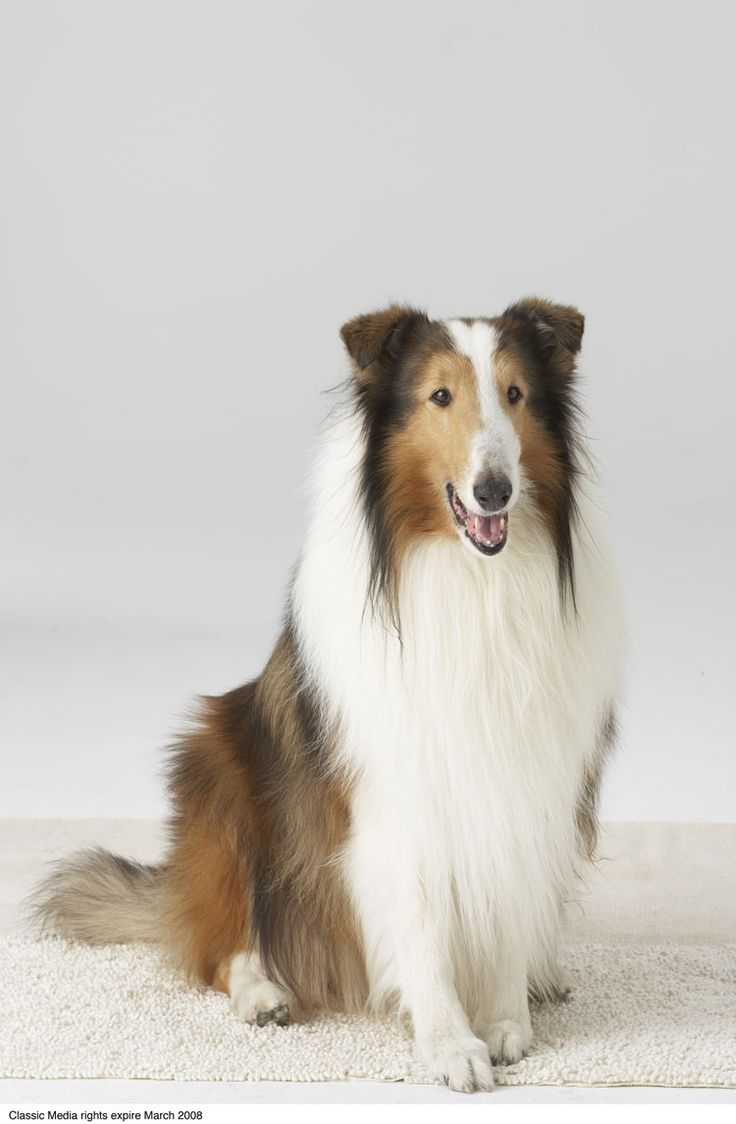 Lassie: An American Icon  ~  Lassie, America's favorite Collie has made 691 TV episodes, 11 motion pictures in 2 decades and is known in over 100 countries.
