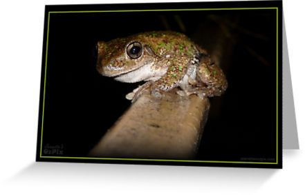 (A new Froggy Card... only posted on RedBubble) - This cute, speckly little fella is a Peron's Tree Frog on our front rail. Another of our regular night visitors.