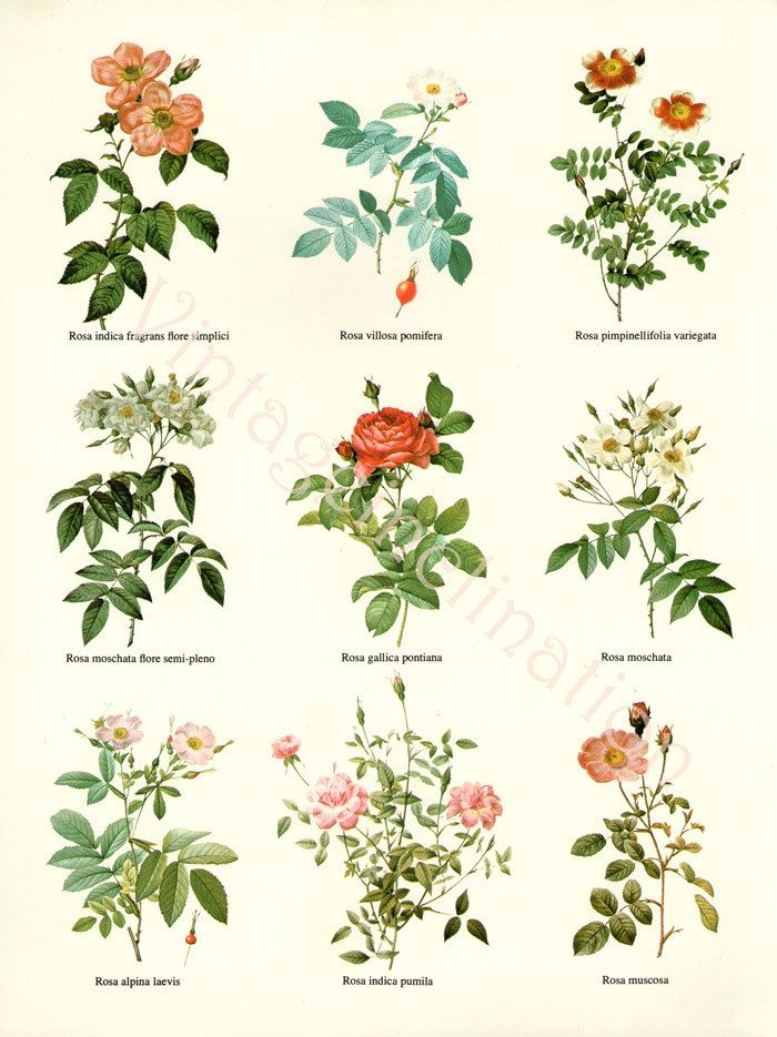 Vintage botanical Chart Print REDOUTE ROSES