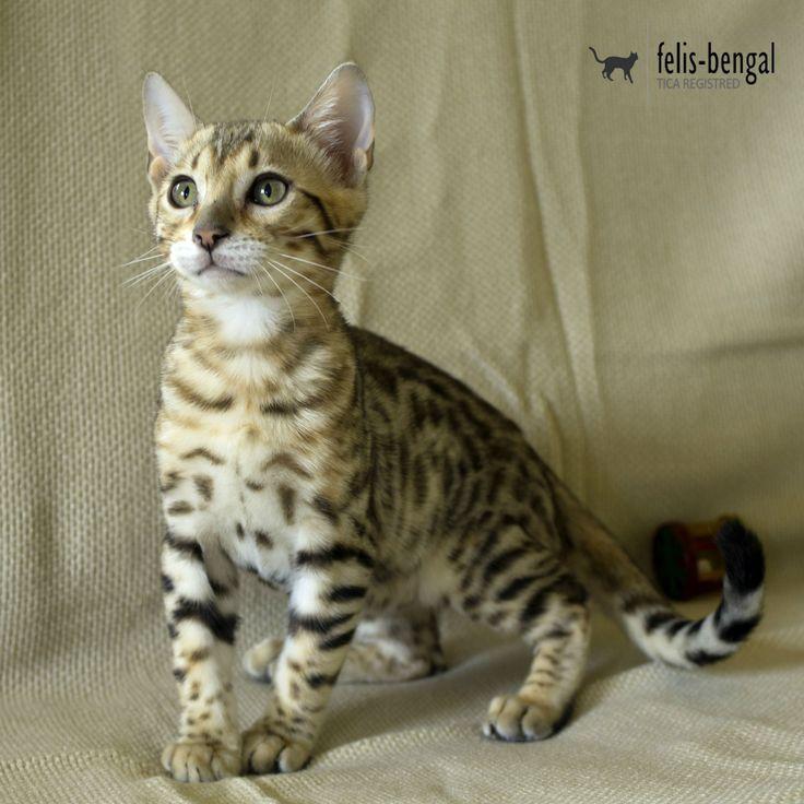 Pisica Bengaleza - FelisBengal Datan
