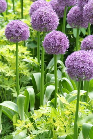 Good companion plantings for 'Globemaster' include day lilies, nepeta, lavender, lamb's ear, iris and hardy geraniums.