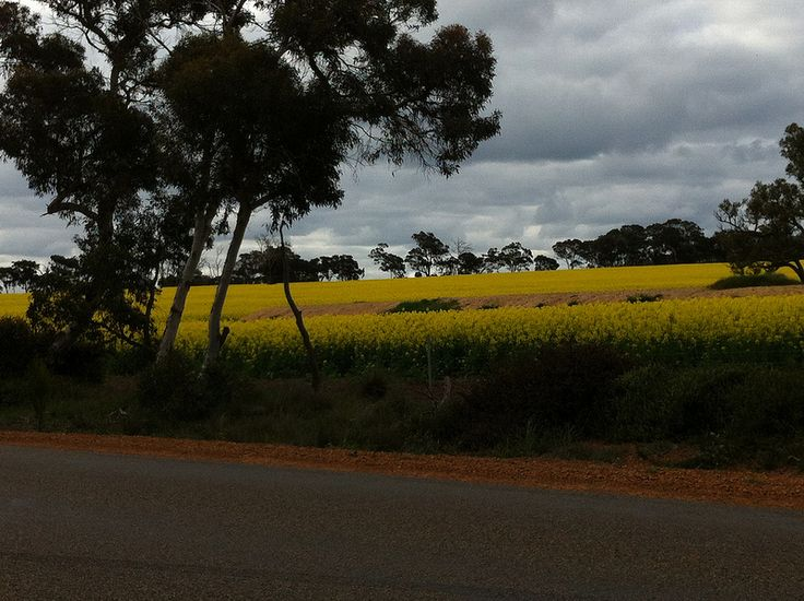 Canola fields on the backroads near Kendenup and Mount Barker in Western Oz. Lots of Canola grown here for oil.