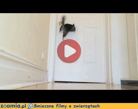 Mały skoczek Śmieszne Filmy Inne zwierzęta http://Zoomia.pl