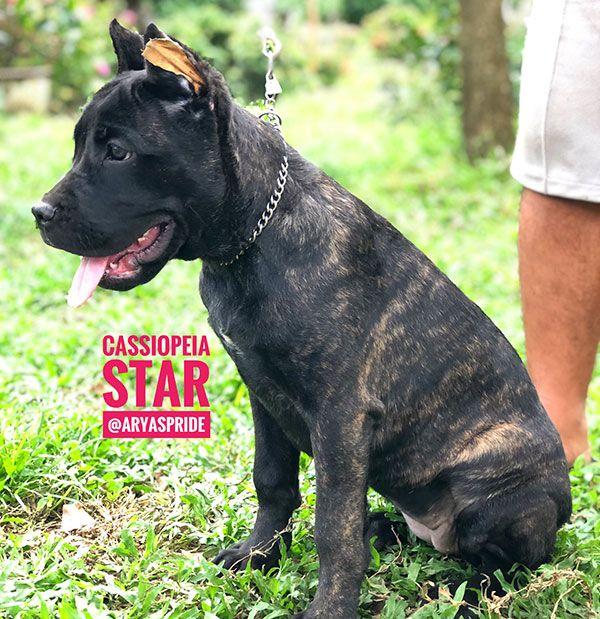 Black Black Brindle Cane Corso Puppies Anjing Cane Corso Hunde