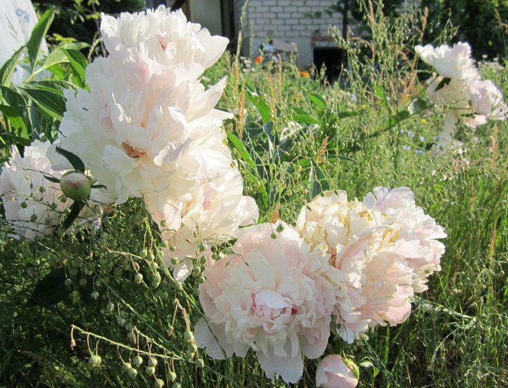 Пионы у нас на Урале, цветут в июне, а у моей подруги, которая обожает эти цветы, день рождения в июле. И я научилась сохранять пионы до ее дня рождения. Для этого срезаю чуть раскрывшиеся бутоны пионов рано утром. Заворачиваю их во влажную газету и кладу в прохладный подпол на даче или вниз холодильника. Через месяц достаю их, ставлю в воду и вот оно возрожденное чудо! Иду к подруге с шикарным букетом и чувствую себя немного волшебницей. Взято с сайта http://yxdaha.ru/pion.php