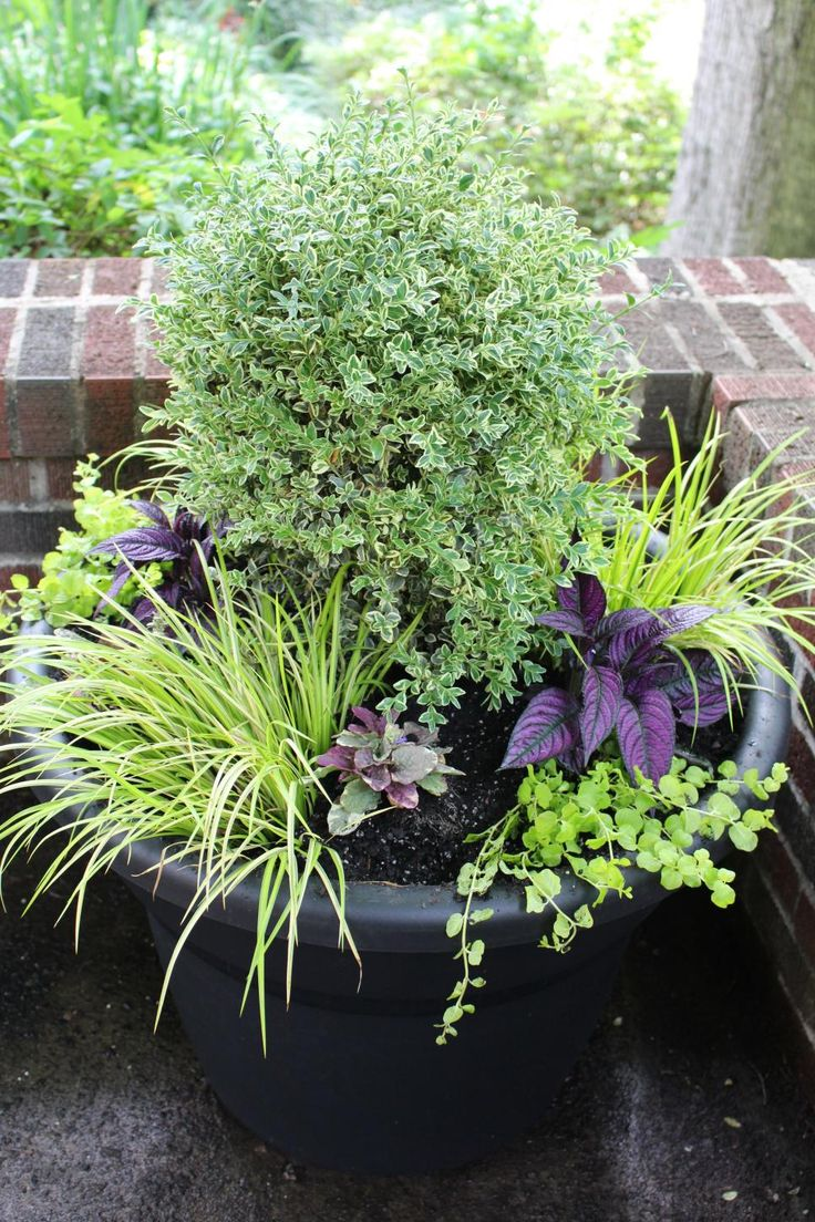 There's no denying the ability of a big pot to define and anchor a space in the garden or yard, as with this Bloem Milano planter used to accent the corner of a driveway and planted with a focal point of variegated boxwood and surrounded with variegated sweet flag, creeping Jenny, ajuga and Persian shield.