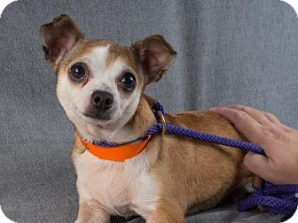 Pictures of Lita a Chihuahua for adoption in Colorado Springs, CO who needs a loving home.
