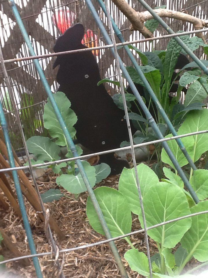 Black rooster in veggie garden
