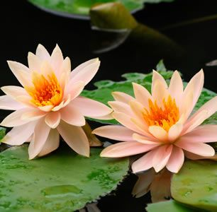 Water-Lily - Nymphaea 'Florida Sunset'