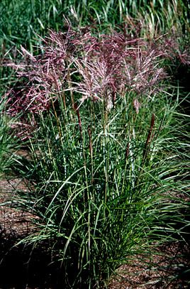 Miscanthus sinensis 'Ferner Osten' AGM (H4) 2001 Flowers early August. Foliage height 0.9m. Flowering stems 1.6m. Nice colour and form. Leaves with cream midrib, turning orange in autumn. Flowers are held at a uniform height, clear of the foliage. Flowerheads, arching, are a lovely rich red with white tips, one of the best for intensity of colour and catches the light well, fading to beige as they mature.