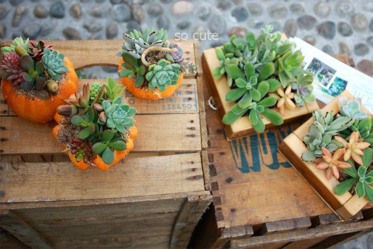 zucculente piccole